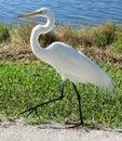 White egret walking  Royalty Free Stock Images