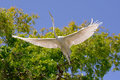 White egret wingspan the of a great aka heron crane in flight Stock Photos