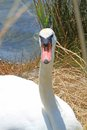 White elegant swan female with very long necks and beaks flamboyant Stock Photos