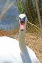 White elegant swan female with very long necks and beaks flamboyant Stock Photos