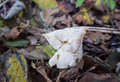 White or elfin saddle fungus in autumn helvella crispa ascomycotina can be seen summer and Stock Photos