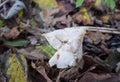 White or elfin saddle fungus in autumn helvella crispa ascomycotina can be seen summer and Stock Photos