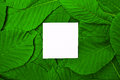 White empty leaf among green leaves of chestnut Royalty Free Stock Photo