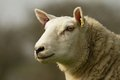 A white English sheep's head Royalty Free Stock Photo