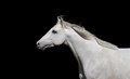 White English thoroughbred horse on a black background Royalty Free Stock Photo