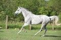 White English Thoroughbred horse running in paddock Royalty Free Stock Photo