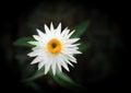 White everlasting flower on black Stock Photos