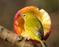White-eye by an apple Stock Photography