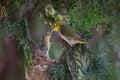 White-eye bird feeding Royalty Free Stock Photo
