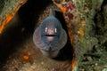 White-eyed moray eel in Ambon, Maluku, Indonesia underwater photo Royalty Free Stock Photo