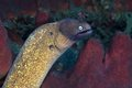 White eyed moray eel siderea thyrsoidea in the coral reef Royalty Free Stock Photography