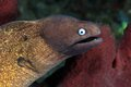 White eyed moray eel siderea thyrsoidea in the coral reef Royalty Free Stock Images
