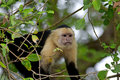 White faced Capuchin Stock Photos