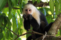 White faced capuchin aka headed throated – cebus capucinus feeding manuel antonio costa rica Stock Images