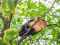 White faced capuchin and baby  in the trees