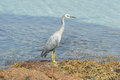 White faced heron australia freycinet national park tasmania Stock Photography