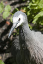 White faced heron close up of a in the sun Royalty Free Stock Photo