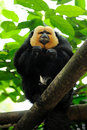 White-faced Saki Monkey (Pithecia pithecia) Stock Photography