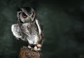 White faced scops owl Royalty Free Stock Photo