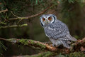 White-faced Scops Owl Royalty Free Stock Photo