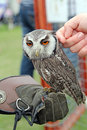 White faced scops owl photo of a beautiful showing at whitstable fun day on th june by many hoots sanctuary rescue centre Stock Photography