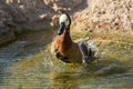 White faced whistling duck dendrocygna viduata a in water Stock Photos