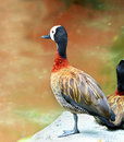 White faced whistling duck dendrocygna viduata white faced in nature Royalty Free Stock Images