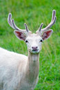 White Fallow Deer Royalty Free Stock Photo