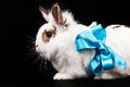 White fancy rabbit with a ribbon Stock Images