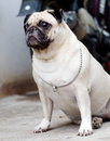 White fat lovely pug dog portraits of a lonely sitting on the floor wearing necklace with a silver ring making sadly face with Stock Photos