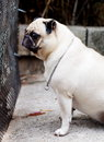 White fat lovely pug dog portraits of a lonely sitting on the floor wearing necklace with a silver ring making sadly face with Stock Image