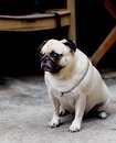 White fat lovely pug dog portraits of a lonely sitting on the floor wearing necklace with a silver ring making sadly face with Royalty Free Stock Photo