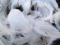White feathers on black Stock Photography