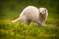 White ferret on the grass Royalty Free Stock Photo