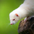 White ferret on the trunk looks around the dangers Royalty Free Stock Photography