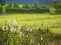 White field flowers and pasture green in the background Royalty Free Stock Photography
