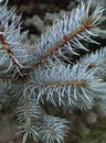 White fir twigs close up Stock Images