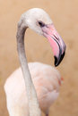 White flamingo pink beak close up Royalty Free Stock Photo