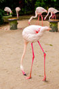 White flamingo pink beak close up Stock Photo