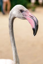 White flamingo pink beak close up Royalty Free Stock Photos