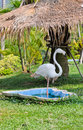 White flamingo standing with one leg Royalty Free Stock Photo