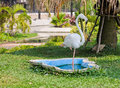 White flamingo standing with one leg Stock Image