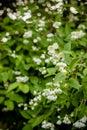 White flower of Andaman satinwood, Chanese box tree, Cosmetic bark tree, Orange jasmine, Orange jessamine, Satin wood Royalty Free Stock Photo