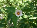 White flower of the Atlantic forest of Brazil