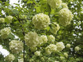 White flower balls of fragrant viburnum Royalty Free Stock Photo