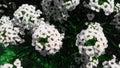 White flower in a bight summer day