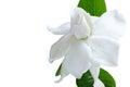 White flower and clipping path, Gardenia jasminoides. Royalty Free Stock Photo