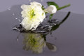 White flower fall in water Royalty Free Stock Photo