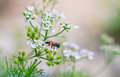 White flower foeniculum vulgare with bee in the garden Royalty Free Stock Images