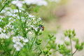 White flower foeniculum vulgare with bee in the garden Stock Photo